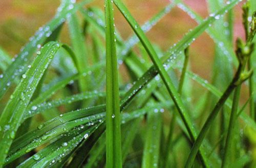 dew_grass_500